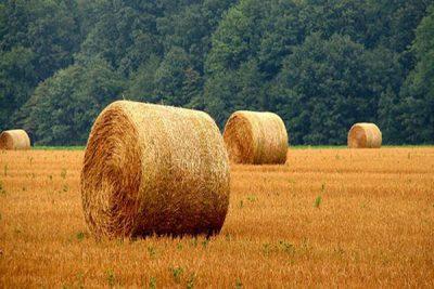 واردات گندم دامی