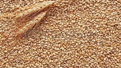 آرد گندم خوراک دام