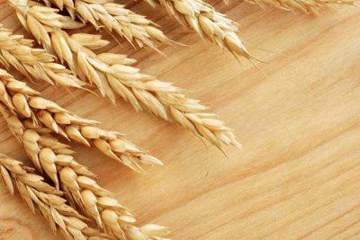 انواع گندم های خوراکی