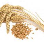 قیمت گندم خوراک طیور