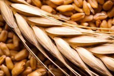 گندم خوراکی