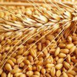 خرید گندم جهت آرد